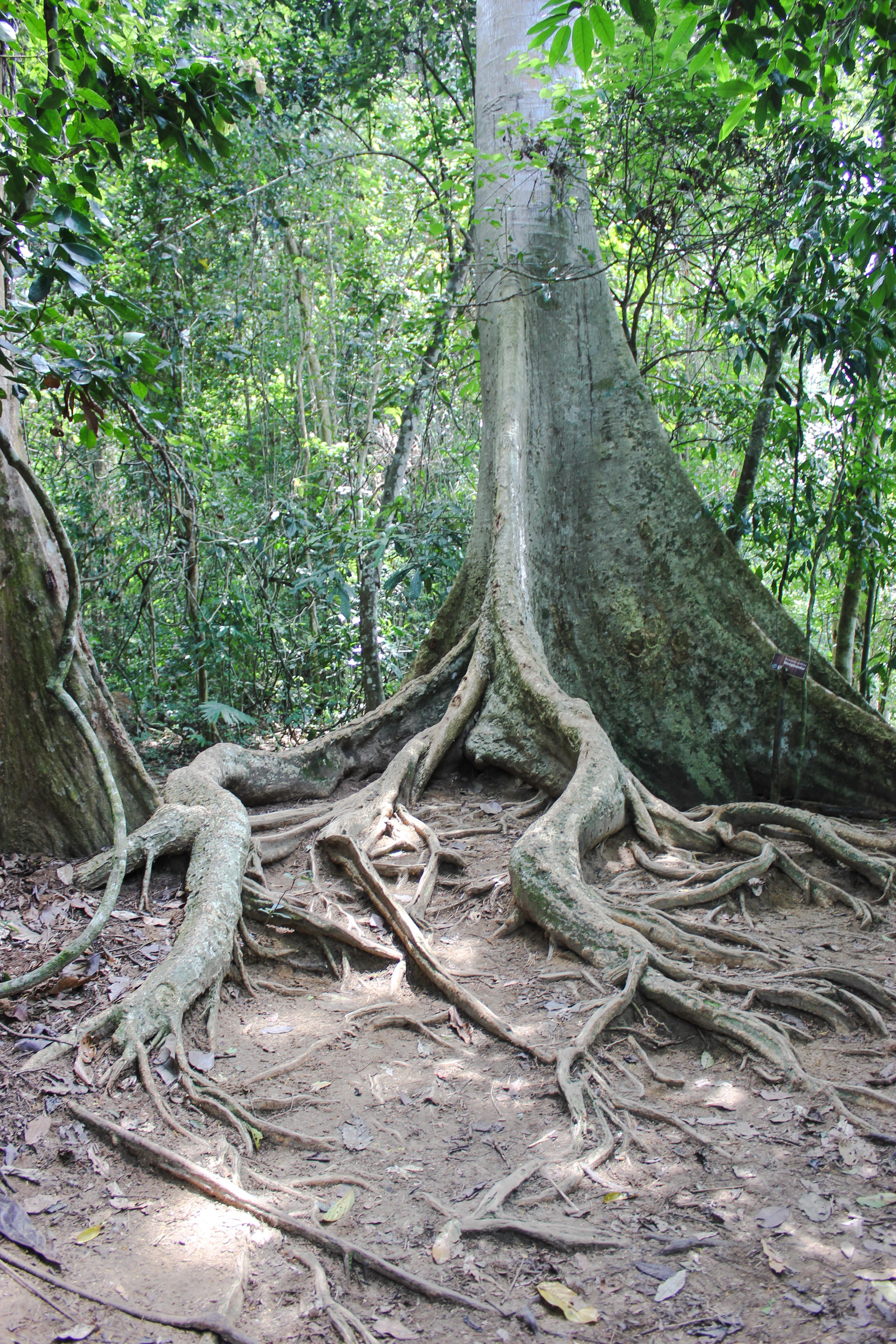 Image d'un arbre dans la jungle du taman negara