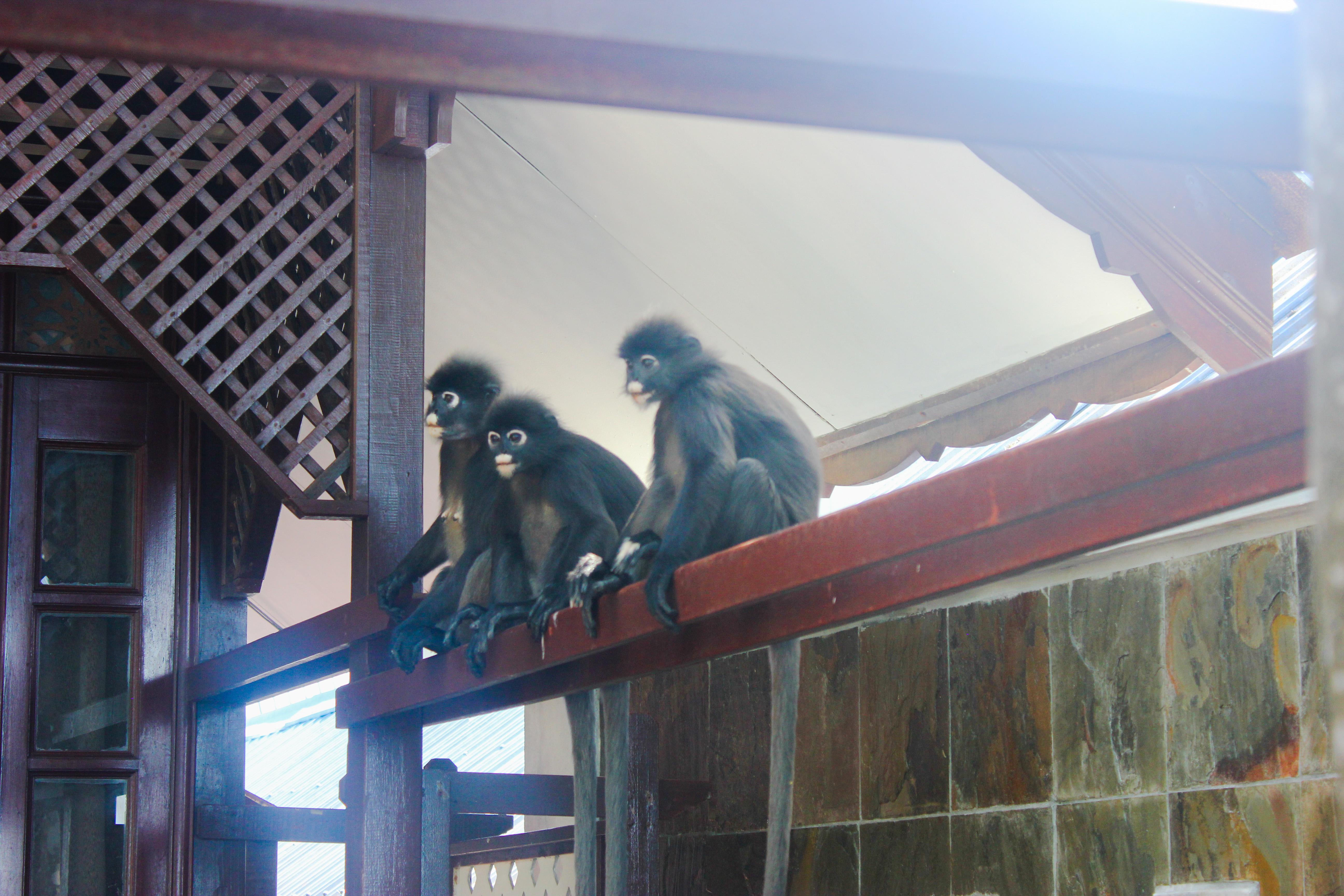 Image de 3 singes au singes au Coral View Island Resort