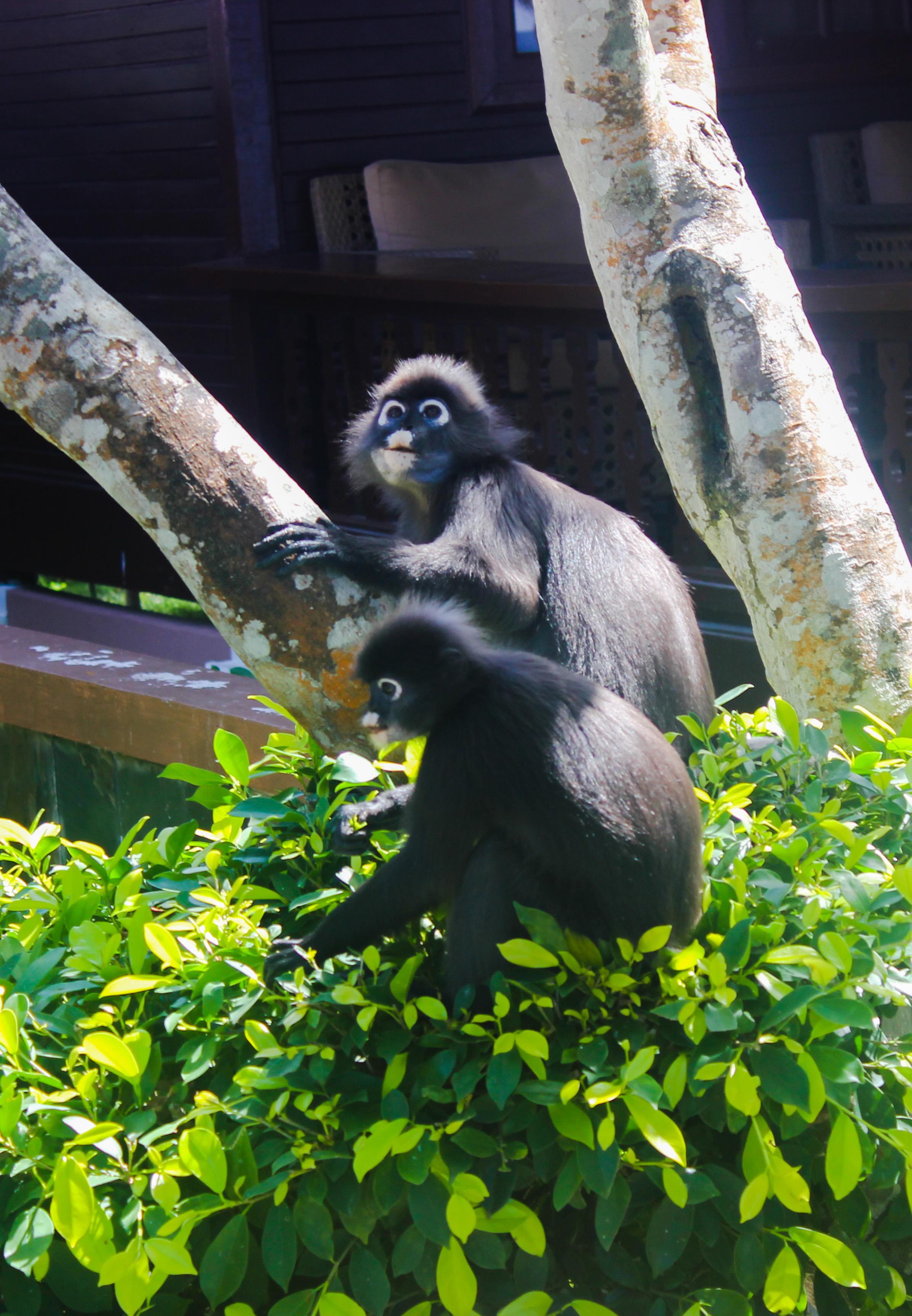 Images de singes au Coral View Island Resort